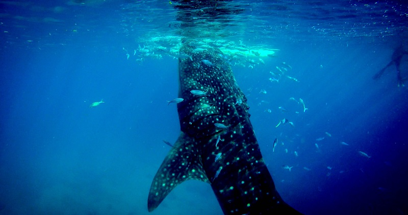 Whale Shark Tours from Holbox, Mexico