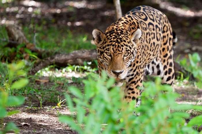Jaguar in the Maya Forest Corridor